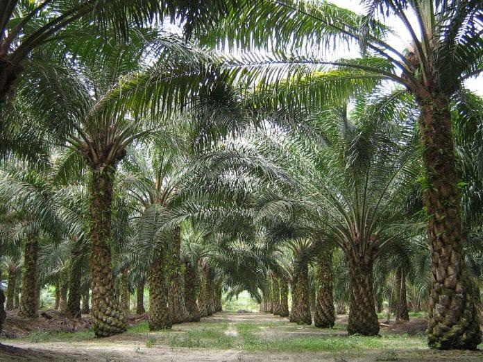 palm oil plantation malaysia