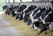 cows myanmar