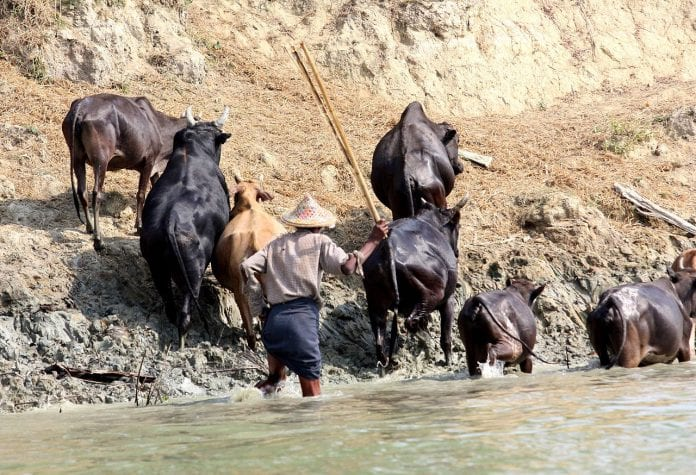 burma cow rakhine