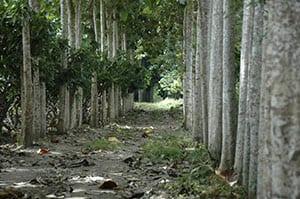 teak plantation APC
