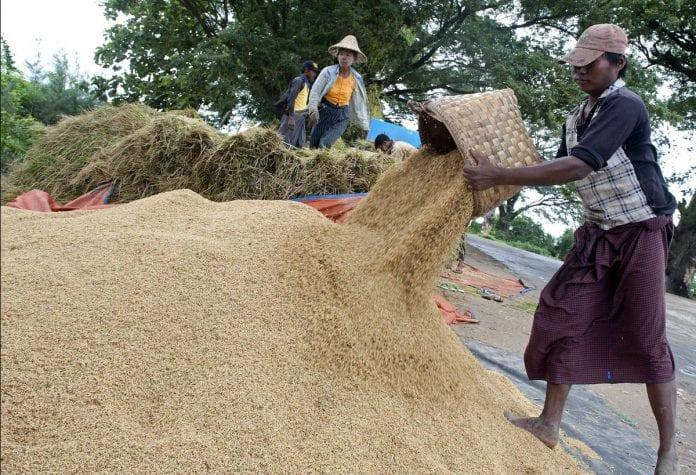 myanmar rice export paddy farmer
