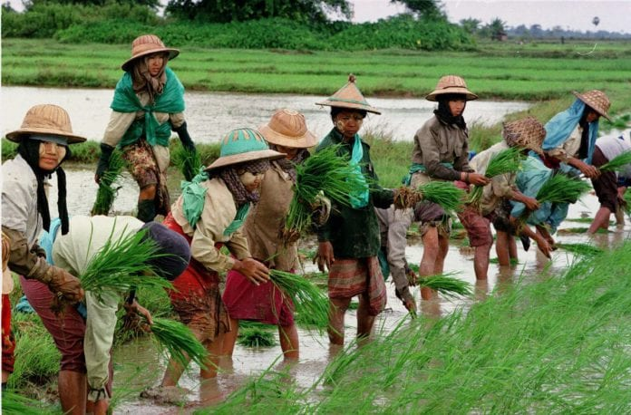 rice field myanmar