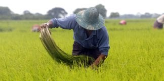 Myanmar agriculture farmer paddy