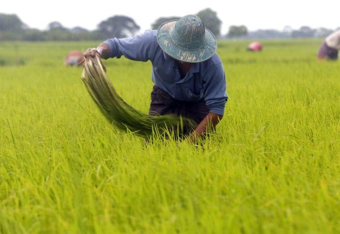 Myanmar agriculture farmer paddy