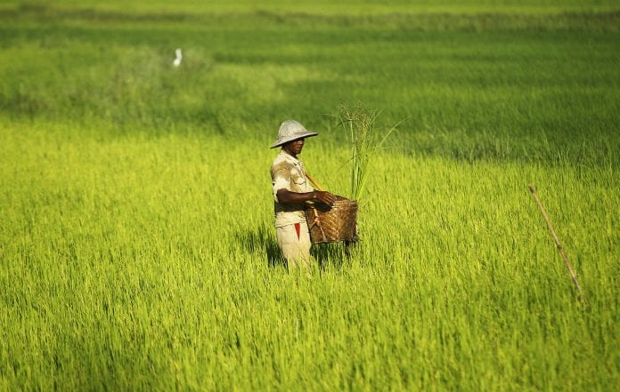 Myanmar rice paddy agriculture farmer seed fertiliser thilawa