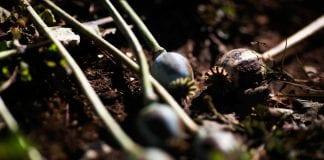 myanmar poppy opium cultivation 11