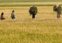 Rice paddy farmer field Myanmar