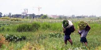 farmer property farmland paddy economy myanmar (1)