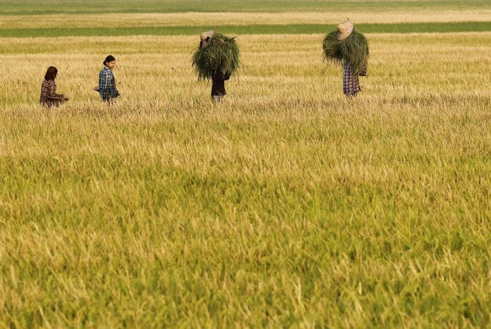 Rice paddy farmer field Myanmar