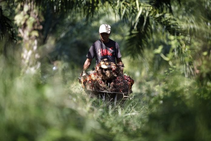 palm oil malaysia green palm