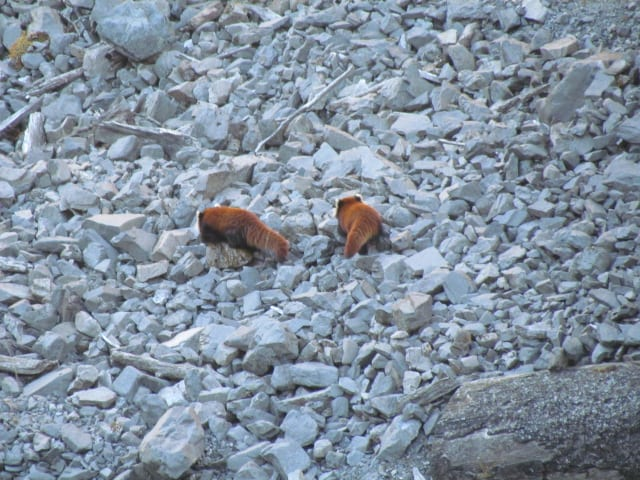 red panda captured by camera -2