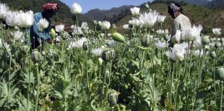 myanmar poppy opium cultivation