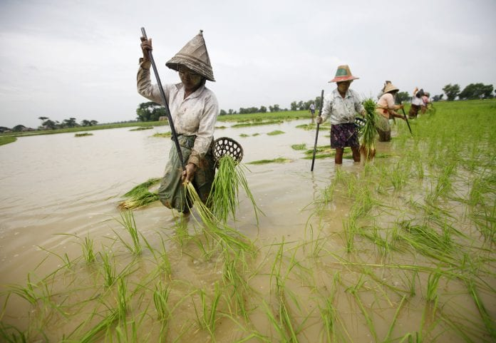 reuters - rice paddy