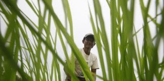 Farmer paddy agriculture rice