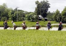 Myanmar agriculture farmer paddy 3