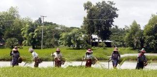 Myanmar agriculture farmer paddy 3