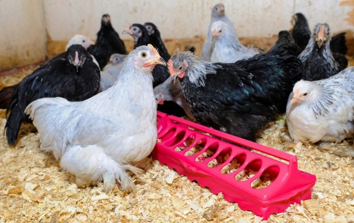 viv asia chicken livestock poultry