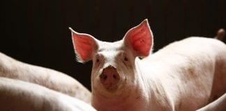 pig farming meat livestock