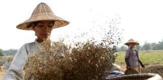 Myanmar beans pulse
